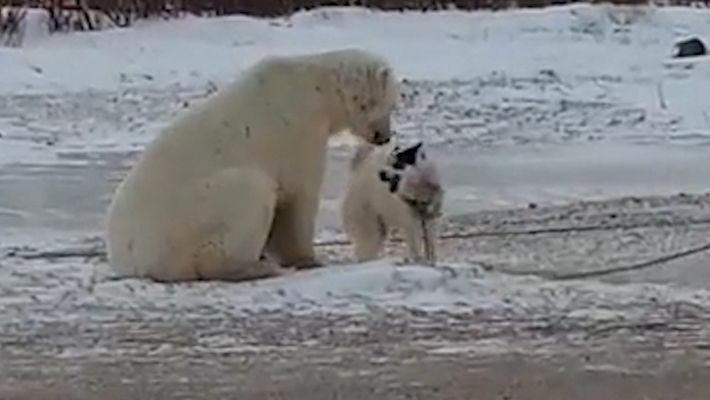 Rencontre improbable entre un chien de traîneau et un ours polaire