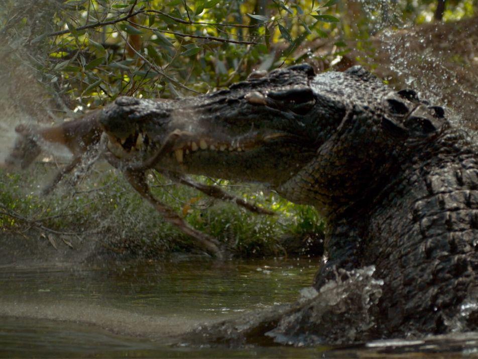 Le crocodile, chasseur camouflé