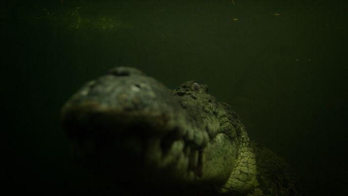 Un crocodile marin affamé sème la terreur à son réveil.