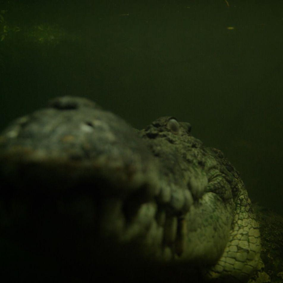 Un crocodile marin affamé sème la terreur à son réveil