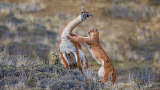 Un puma s'en prend à un guanaco