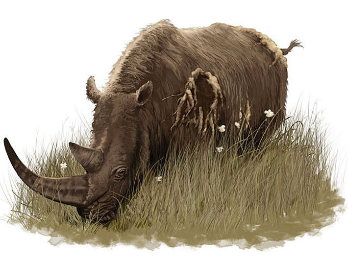 Illustration représentant un rhinocéros laineux.
