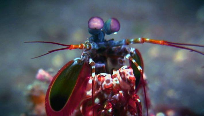 Quand la  squille multicolore attaque