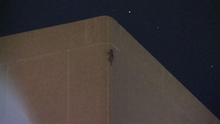 Un raton laveur escalade un immeuble de 25 étages