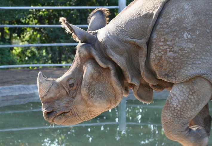 Rhinocéros au zoo de San Diego