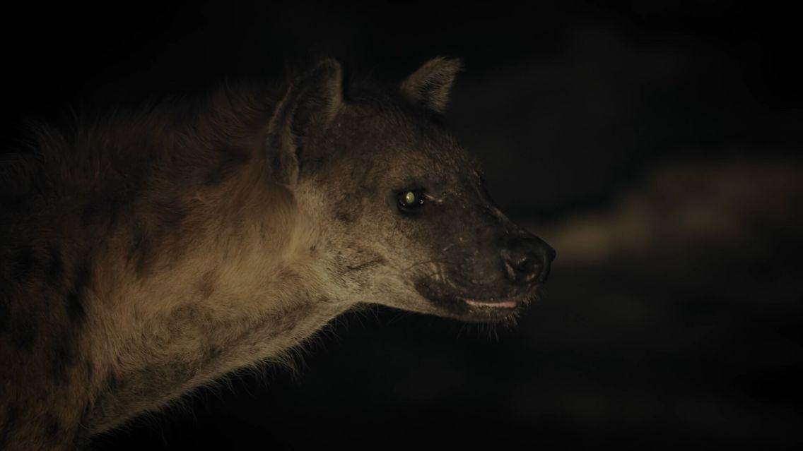 Des hyènes et un crocodile s'affrontent pour dévorer une antilope