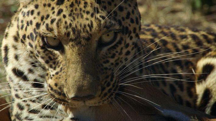 L'impressionnant assaut d'un léopard sur un impala en images