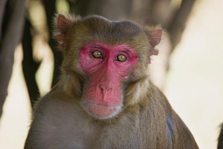Photo d'un macaque rhésus rouge de plaisir.