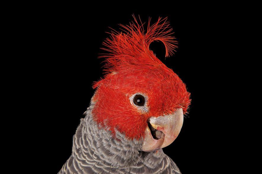 Le cacatoès à tête rouge compte parmi la vingtaine d'espèces de cacatoès existantes, dont la plupart ...