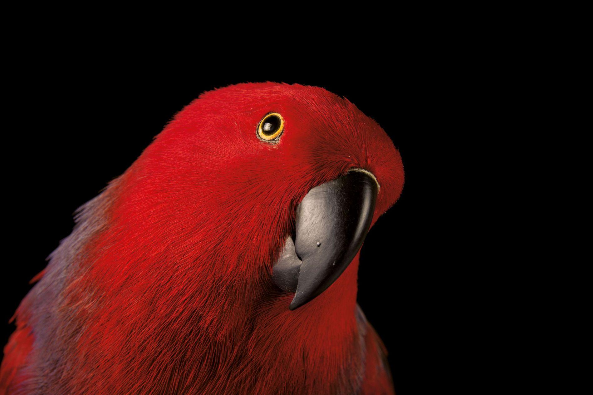 Un grand éclectus femelle fixe l'appareil photo d'un air perplexe. Bien que les oiseaux mâles soient ...