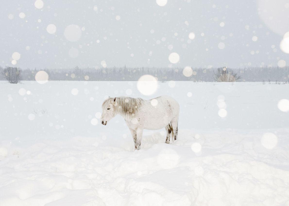 Dans le froid de mars, des villageois procurent nourriture et chaleur à des chevaux à moitié ...