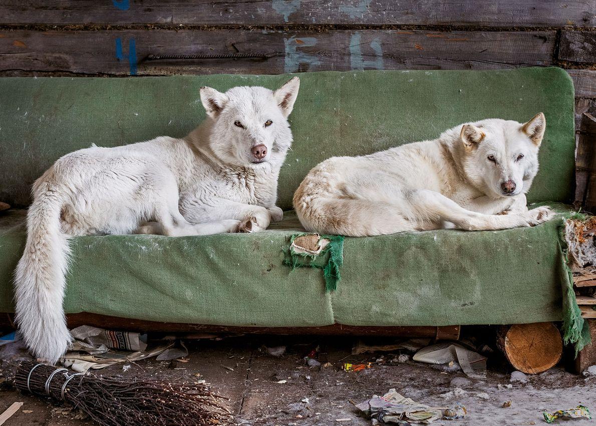 Au village, des chiens sont couchés sur un canapé mis au rebut. Les habitants conservent la ...