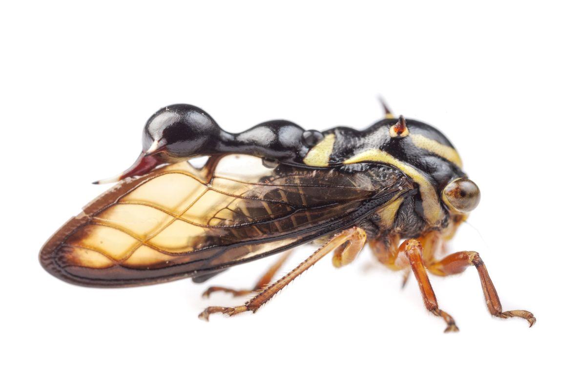 Les membracidés du genre Heteronotus imitent des fourmis et/ou des guêpes.