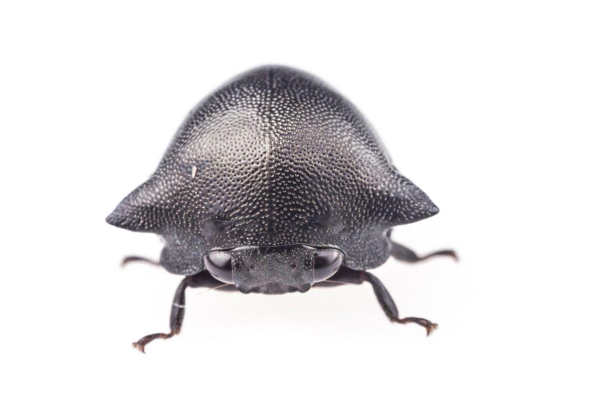Chelyoidea sp. imite la texture et la couleur des fourmis du genre Cephalotes.