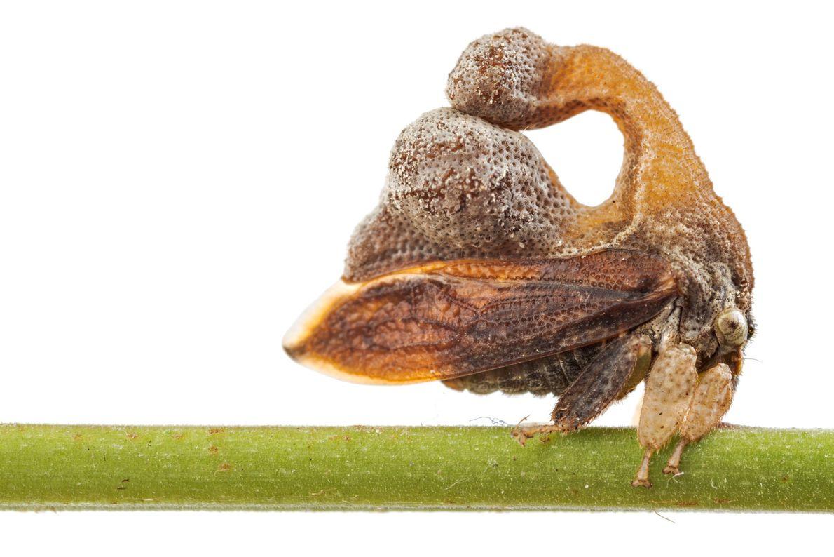 Un membracidé du genre Cladonota ressemble à une déjection d'oiseau.