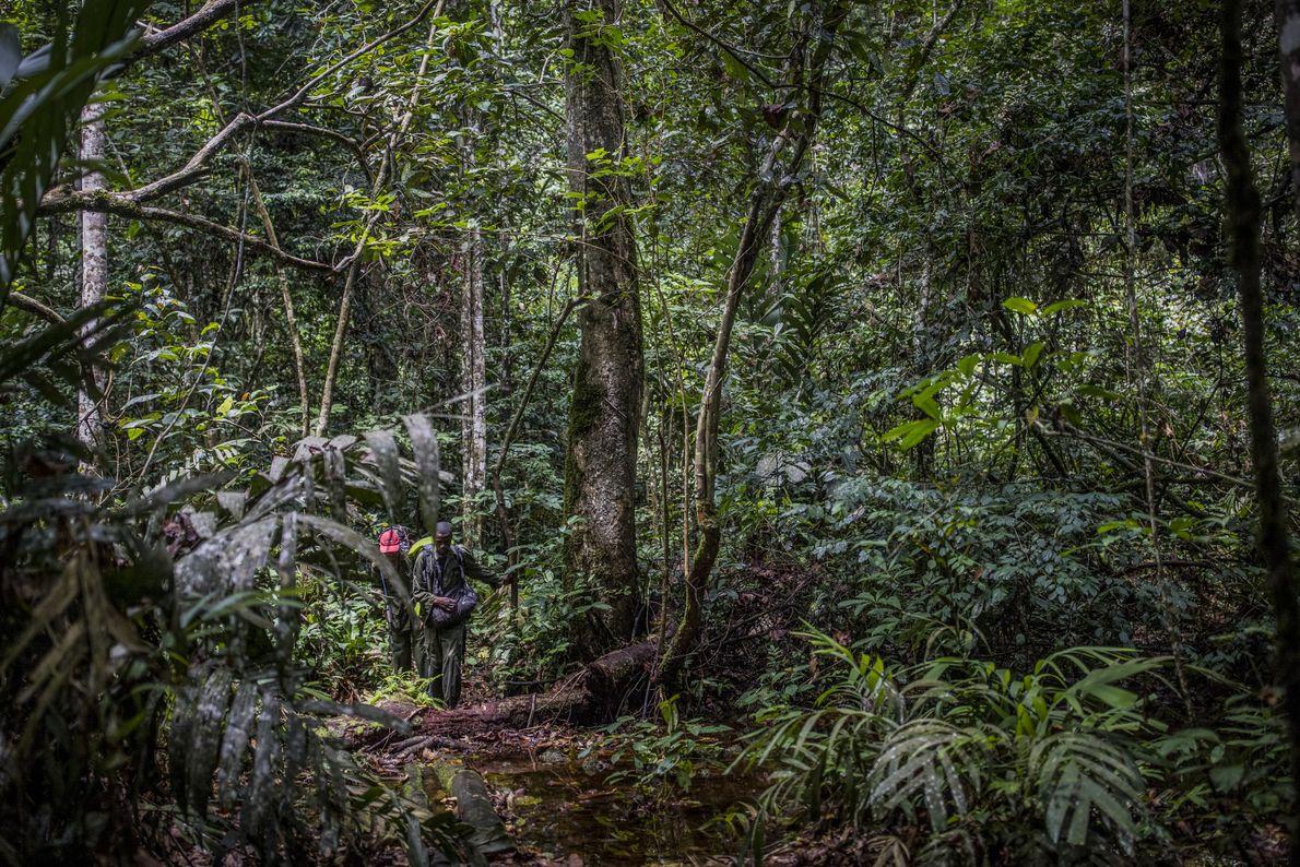 Le parc national de la Salonga est une forêt tropicale humide de la taille des Pays-Bas. ...