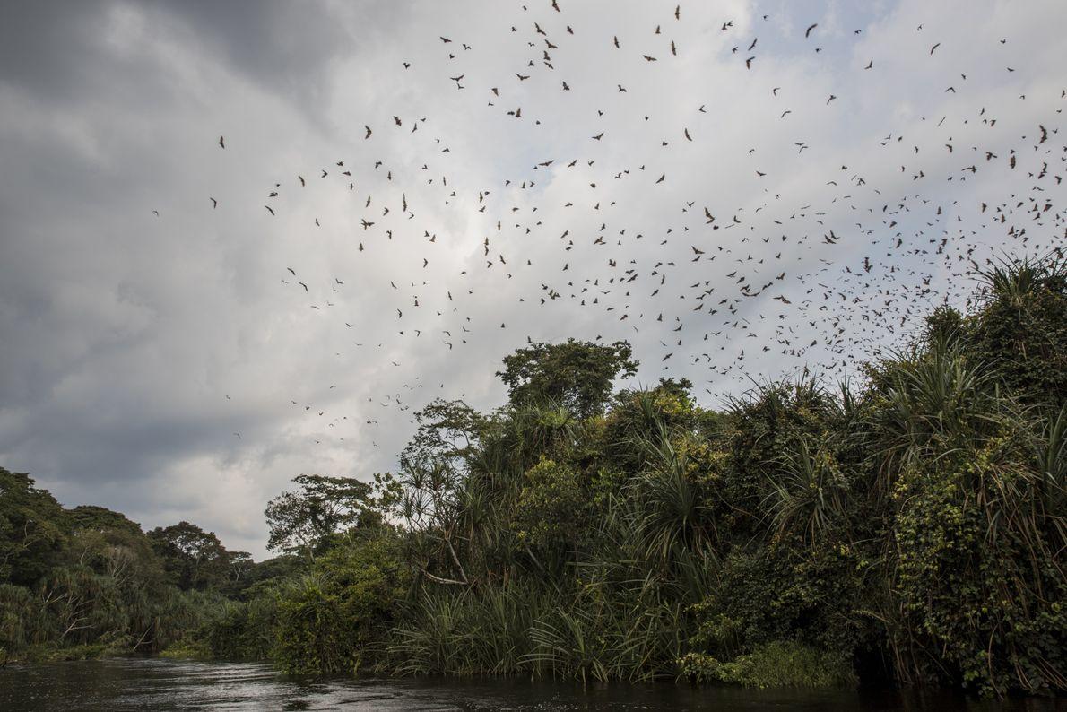Une colonie de chauves-souris en déplacement au-dessus de la rivière Yenge, dans le bloc nord de ...