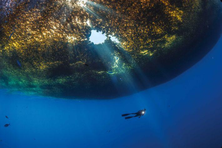 Un puits de lumière perce un tapis de sargasses sous lequel évolue un plongeur, près de ...