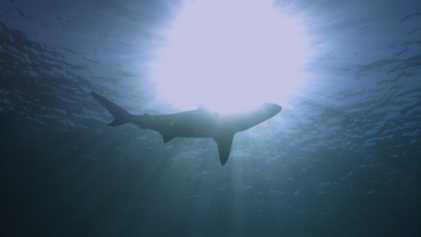 Requins vs surfeurs : en immersion