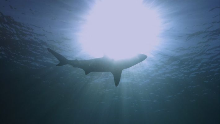 Requins vs surfeurs : en immersion
