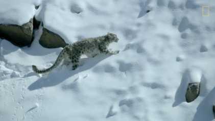 La chasse de la panthère des neiges