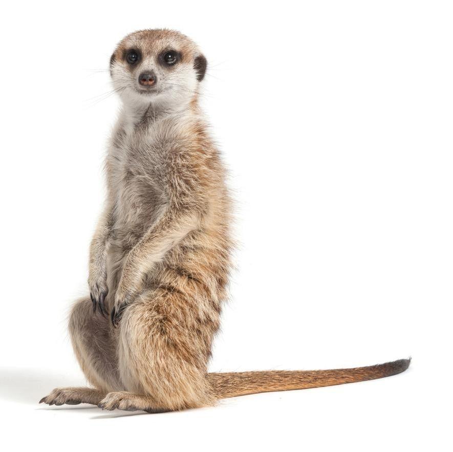Chez les suricates, la domination est une affaire de poids