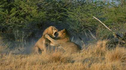 Cette fratrie de lions se dispute les faveurs des femelles