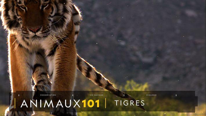 Comprendre : les tigres
