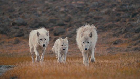 Le royaume du loup arctique