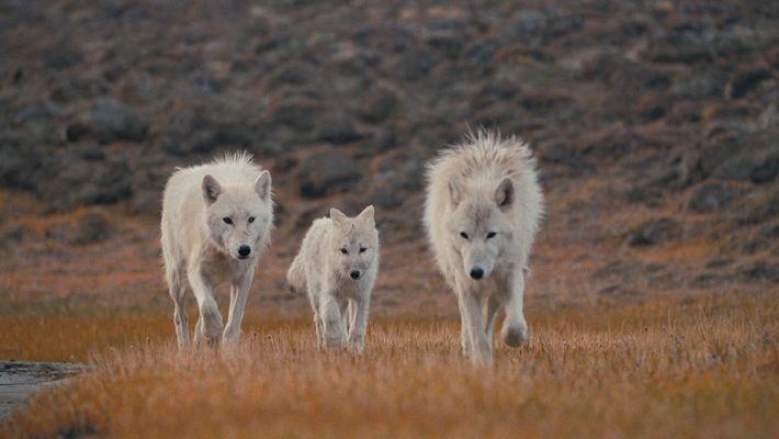 La reine louve et ses petits