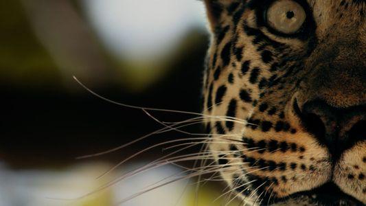 L'incroyable bond du léopard en images