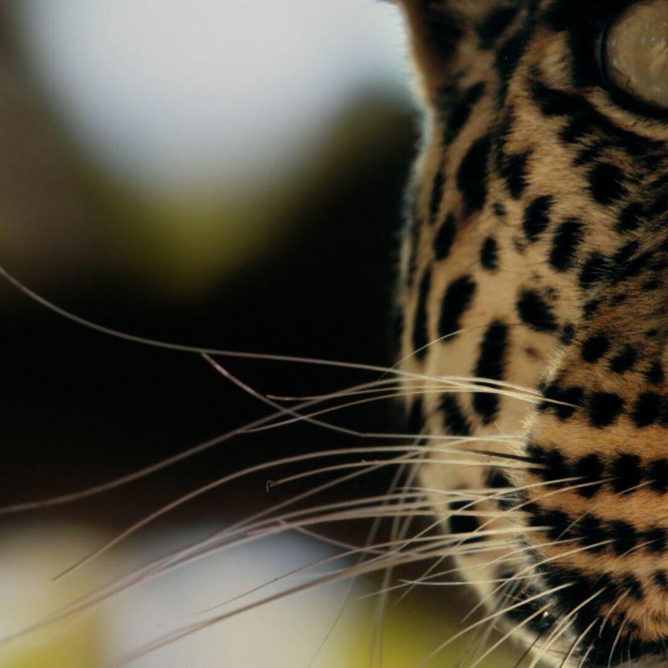 Ce léopard est en bien mauvaise posture face à ces lycaons affamés