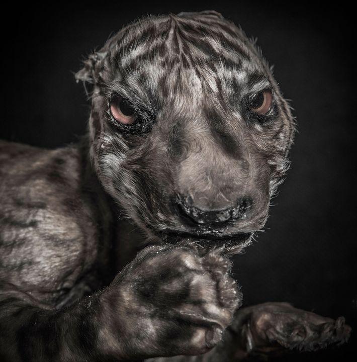 Un fœtus de tigre.