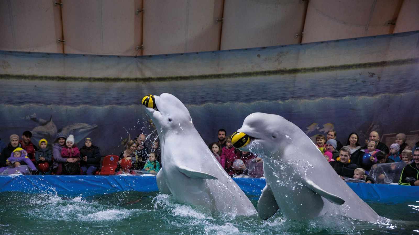 Des bélugas exécutent des numéros dans un aquarium itinérant, à Saratov (Russie). Le tourisme animalier n'exige ...