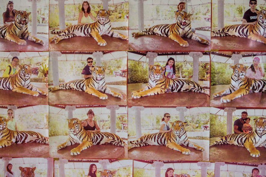 Au zoo de Phuket (Thaïlande), on peut poser avec un tigre pour 9 euros, comme sur ...