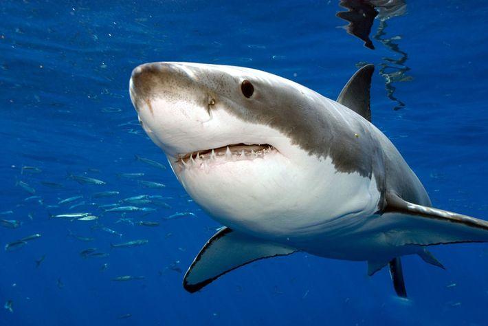 Ce requin dévore une otarie et déclenche l'assaut de toute sa colonie