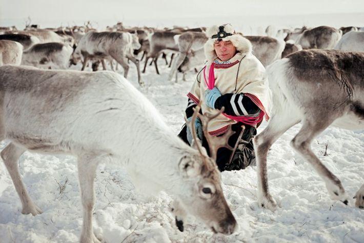 Nils Peder est un Sami éleveur de rennes en Norvège. Agenouillé au milieu de son troupeau, ...