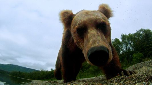 Cet ours s'est empêtré dans un piège