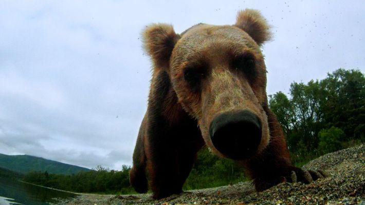 Un ours pris au piège