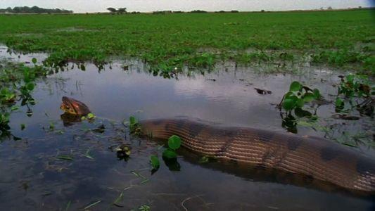 Cet anaconda aura-t-il l'estomac assez large pour avaler sa proie ?
