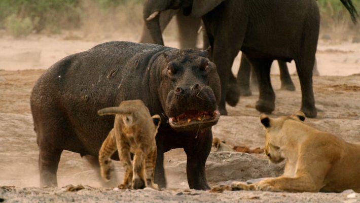 Hippopotame vs lions