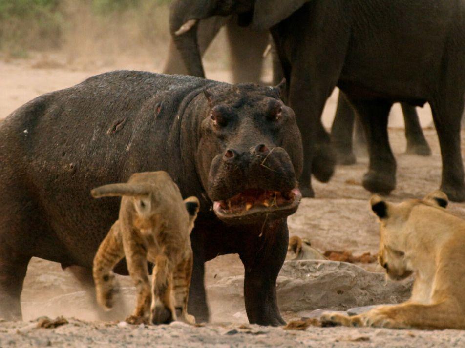 Quand un hippopotame affronte des lions