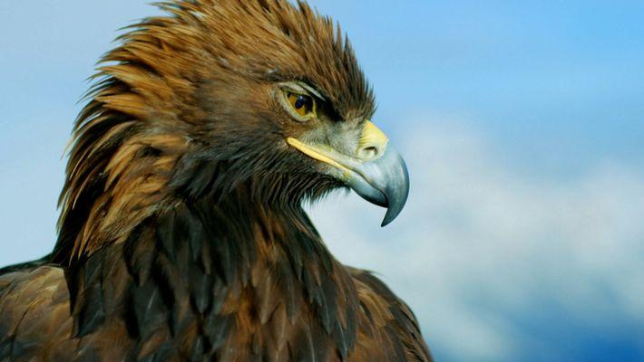 Majestueux aigle royal