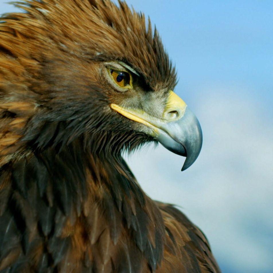 L'aigle royal, cet être majestueux