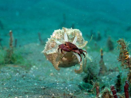 Une seiche et un poulpe partent à la chasse au crabe