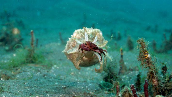 Une seiche et un poulpe chassent des crabes