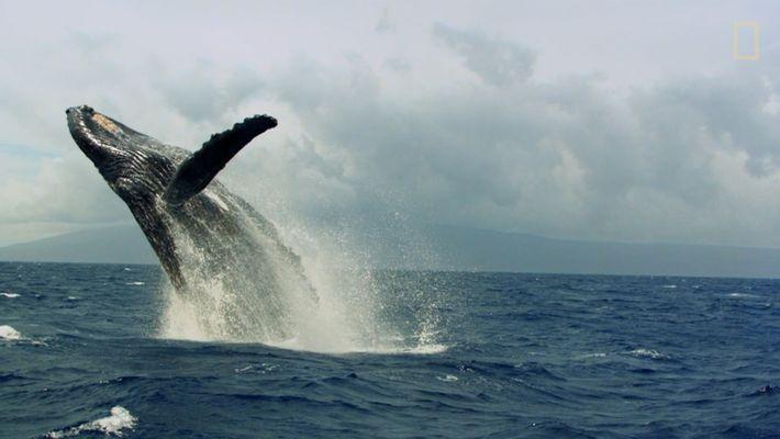 L'accouplement sauvage des baleines à bosse