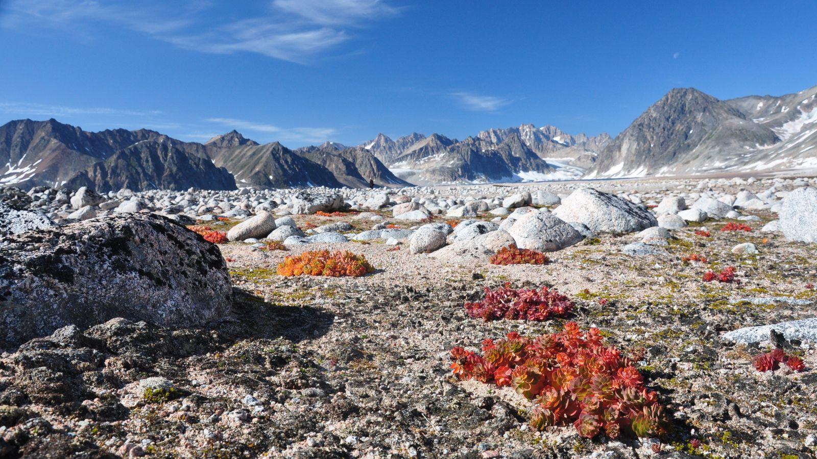 Les lichens et les plantes vivaces, comme les orpins roses sont caractéristiques des déserts glacés. Avec ...