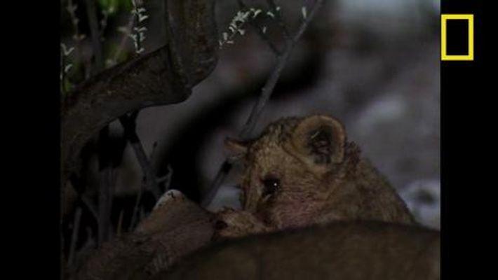 L'agenda surchargé d'un lion ordinaire