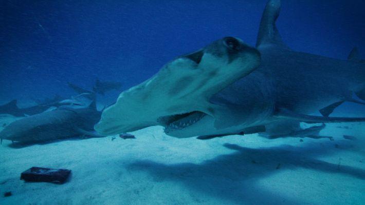 Les requins peuvent-il ressentir le magnétisme des volcans ?